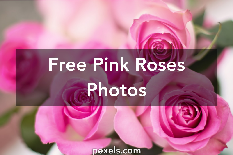 1000 Engaging Pink Roses Photos Pexels Free Stock Photos