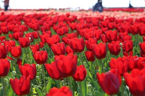 คลังภาพถ่ายฟรี ของ กลางแจ้ง, กลิ่นหอม, ก้านดอก, การเจริญเติบโต