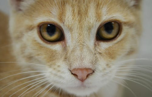 Free stock photo of animal portrait, Animals And Pets, cat, cat eyes