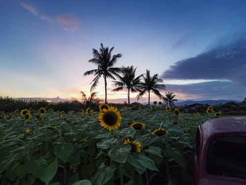 Old car near green field with sunflowers and palms under cloudy sunrise sky