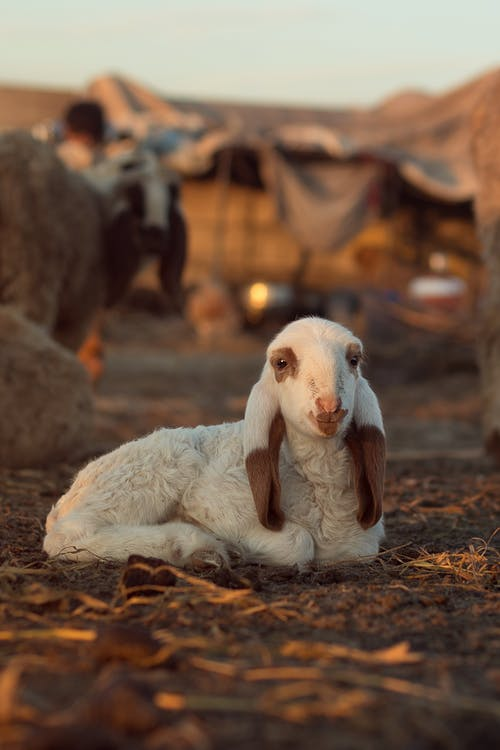 White and Brown Goat Lying on Ground