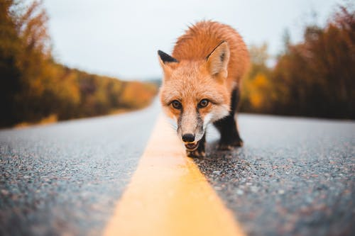 Ground level of curious dangerous wild red fox walking on wet road near woods