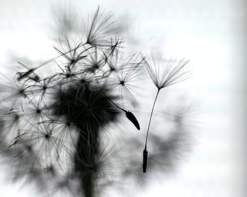Grayscale Photo of Dandelions
