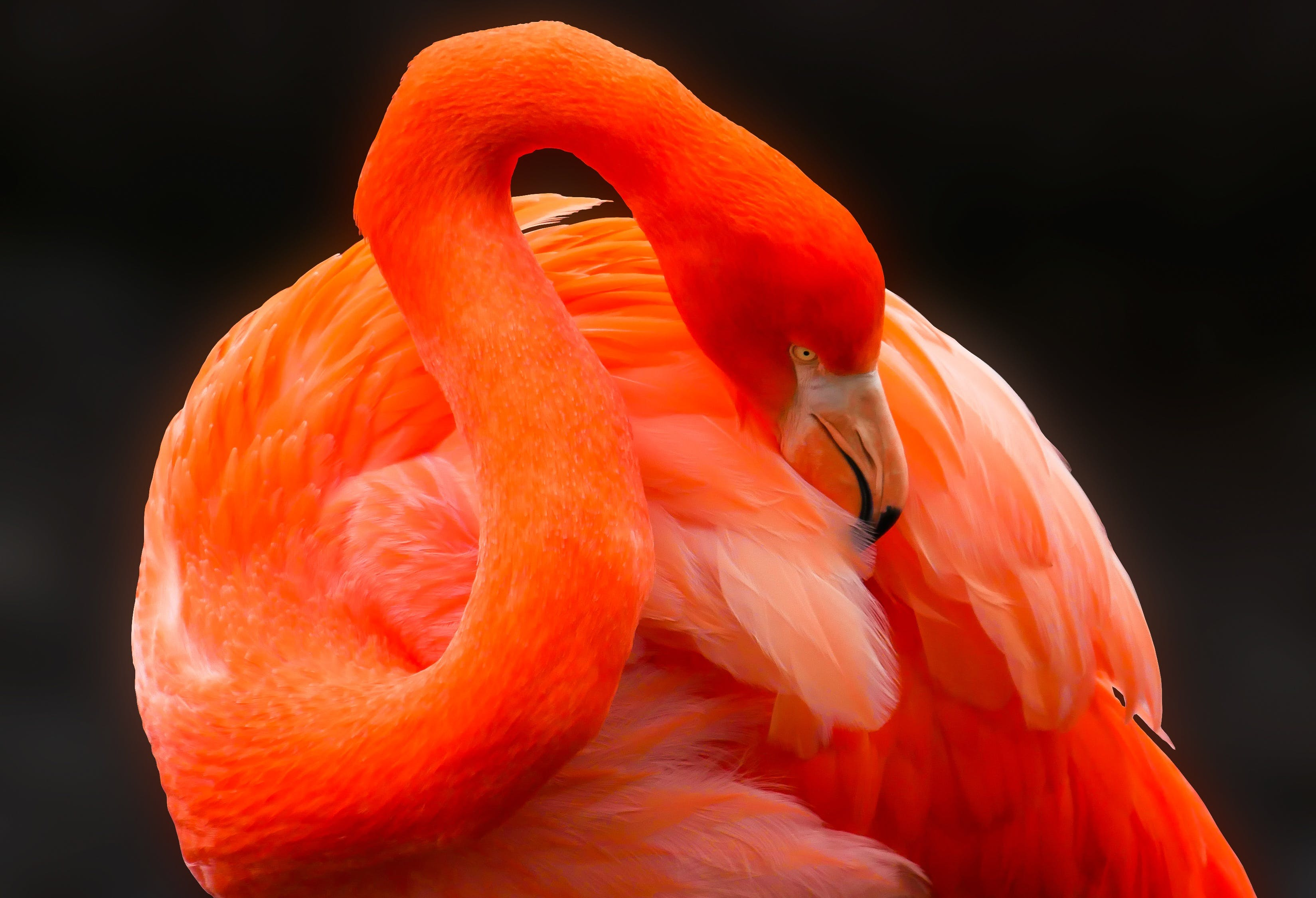 Free stock photo of bird, red, animal, flamingo