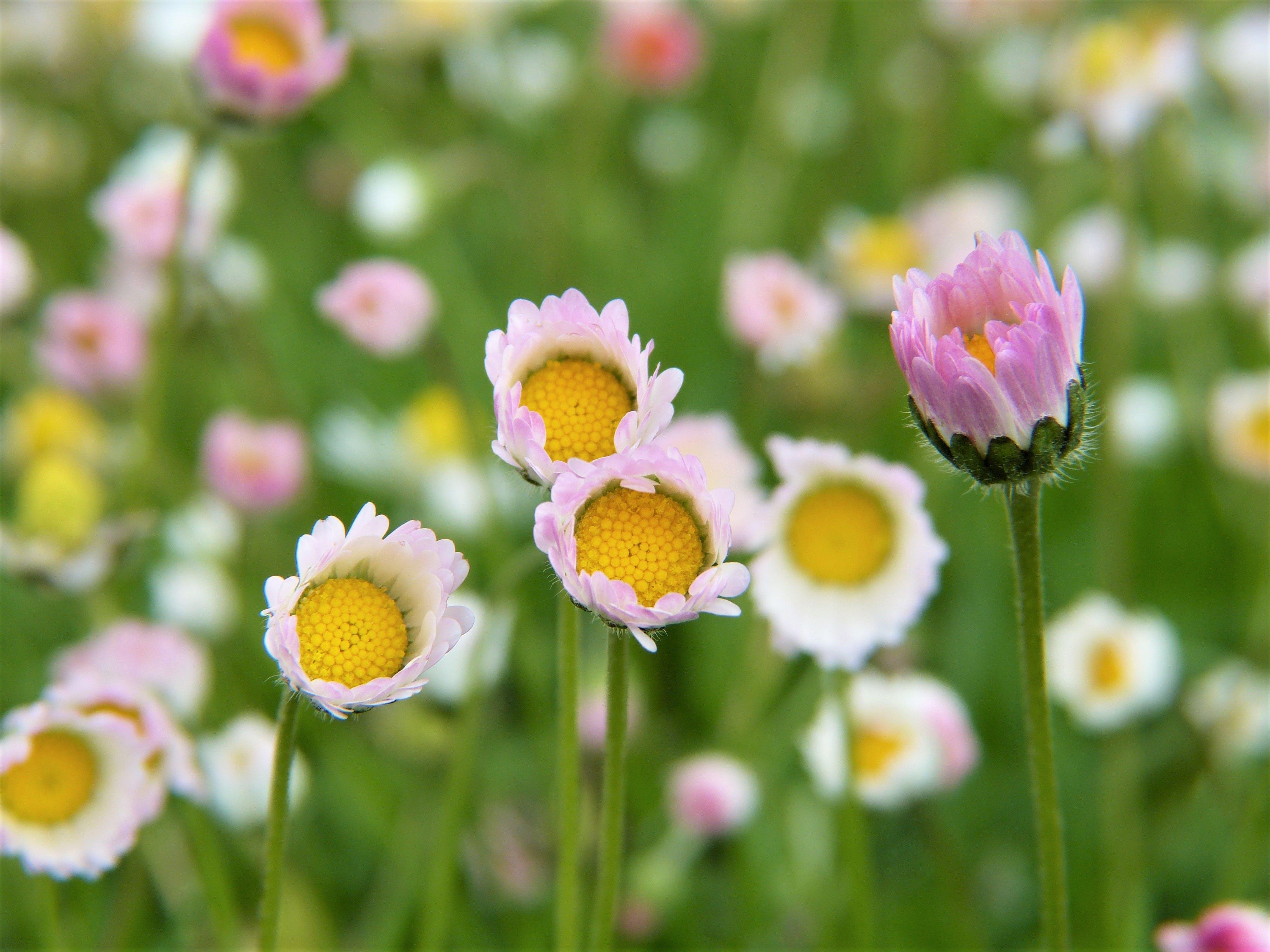 White Common Daisy