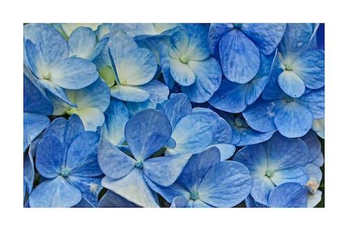 Immagine gratuita di azzurro, blu, fiori