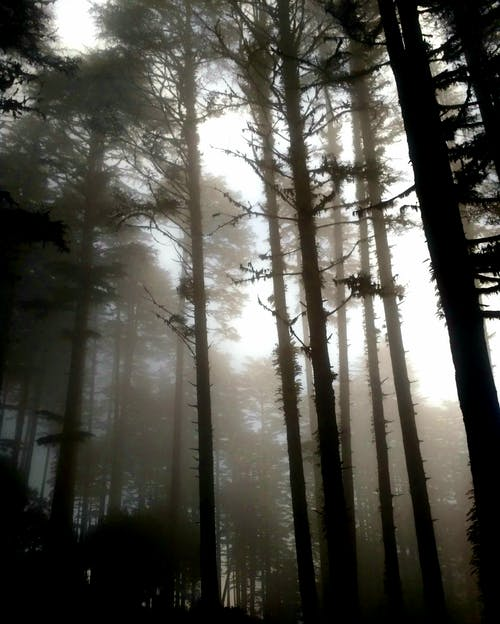 Tall leafless trees in dense forest