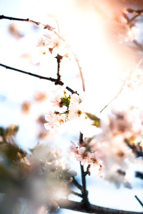 Foto d'estoc gratuïta de cirera, flor, flor bonica