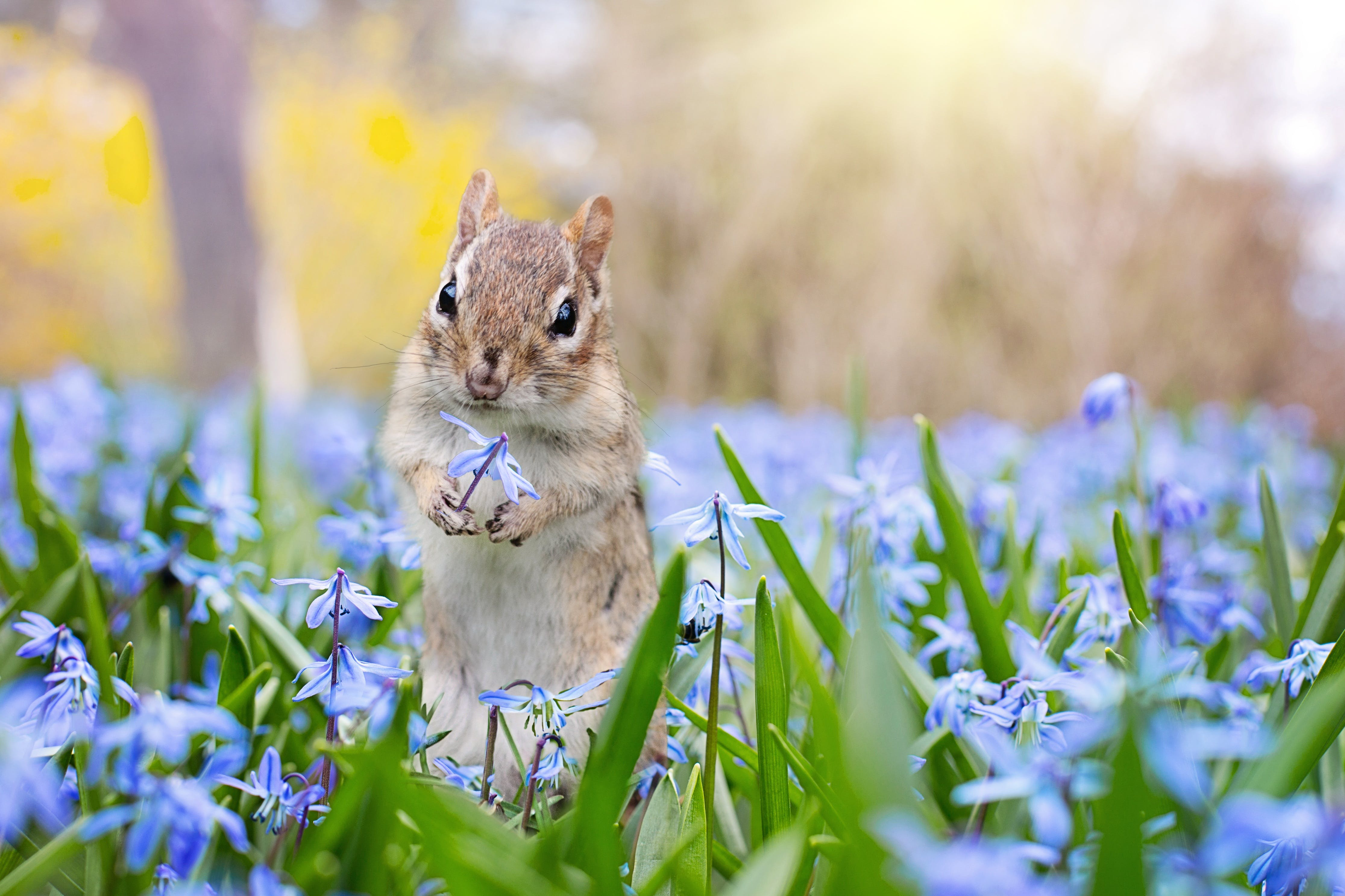 Brown Squirrel Holding Purple Glory-of-the-snow Flower