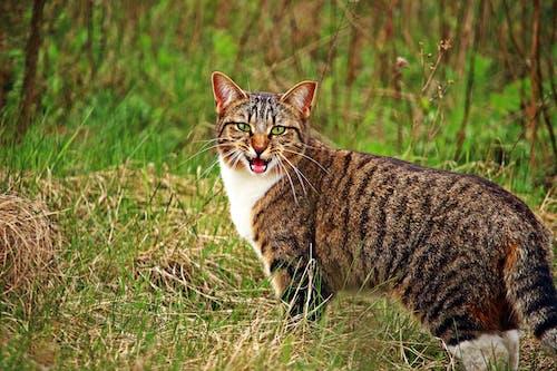 Gray Tabby Cat Standing on Grass
