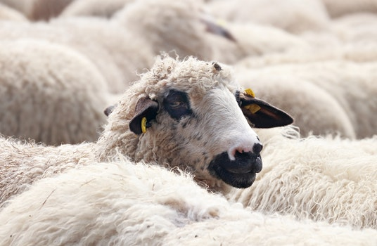 Free stock photo of animals, sheep, flock, wool