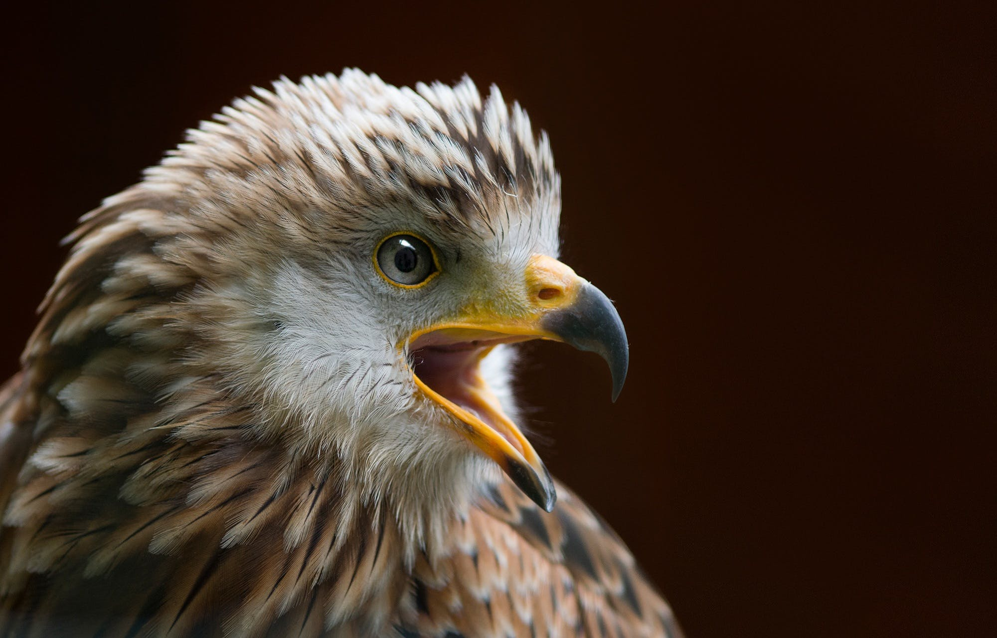 Free stock photo of bird, animal, bald eagle, beak