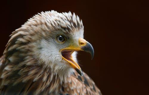 Foto d'estoc gratuïta de àguila, àguila calba, animal, animal salvatge