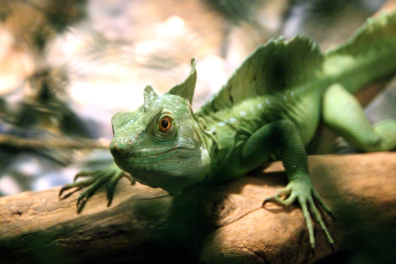 Iguana Crawling on Branch