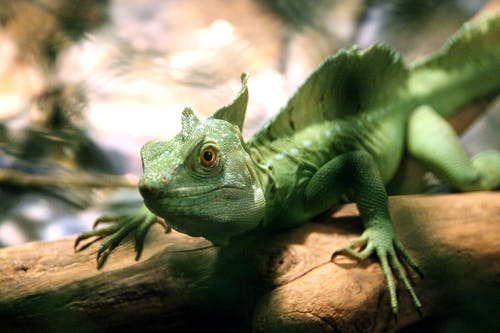 Základová fotografie zdarma na téma barva, chameleon, dešťový prales, divočina