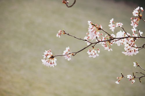 Closeup of fragile branch of sakura tree with tender blooming flowers growing in park on sunny spring day