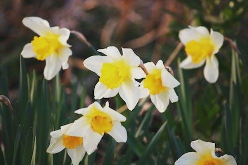 Blooming Narcissus tazetta flowers in garden