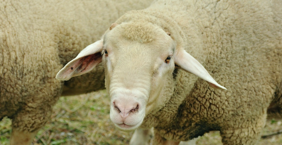 Image result for sheep herd