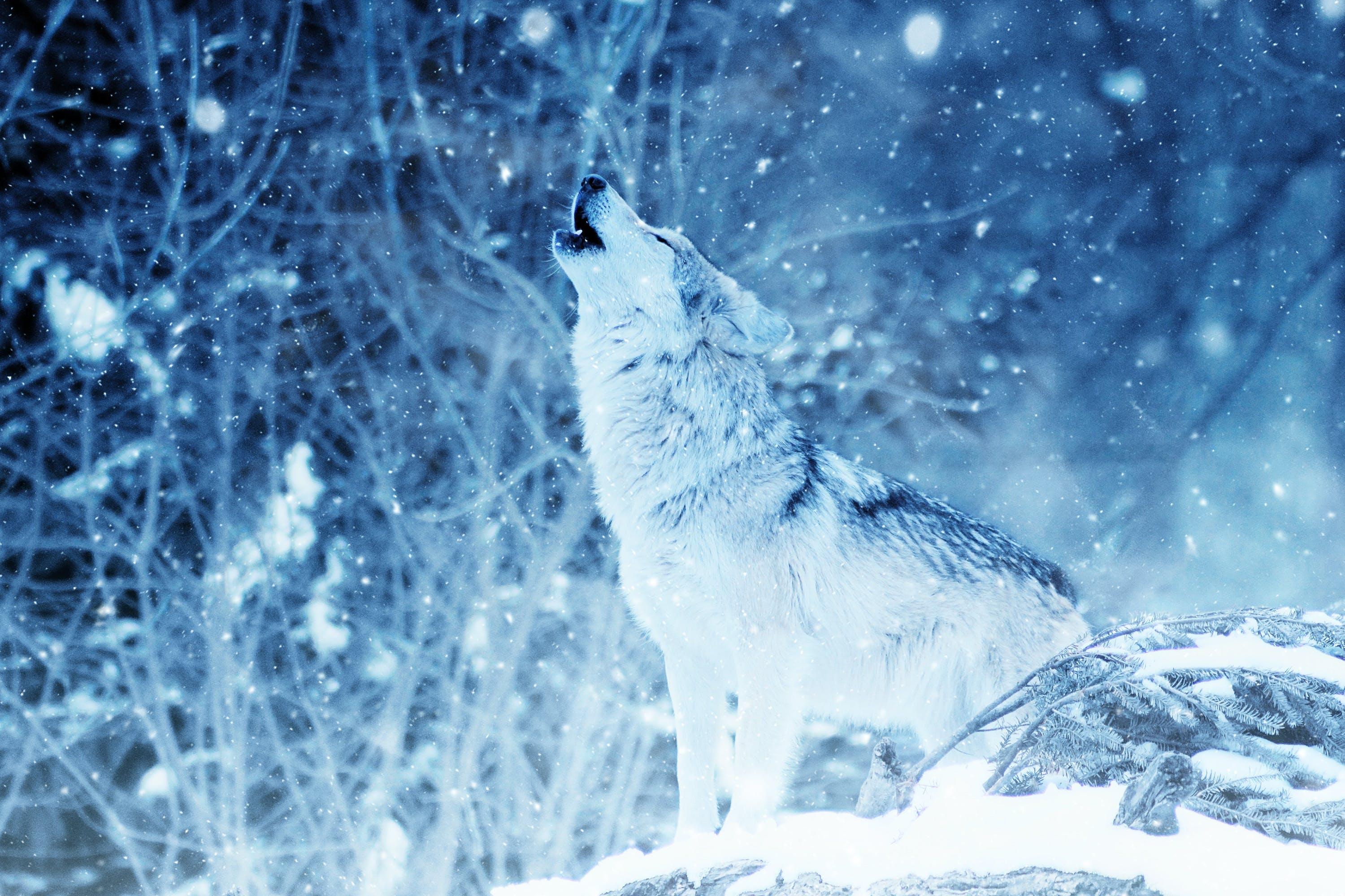 Wolf during Winter