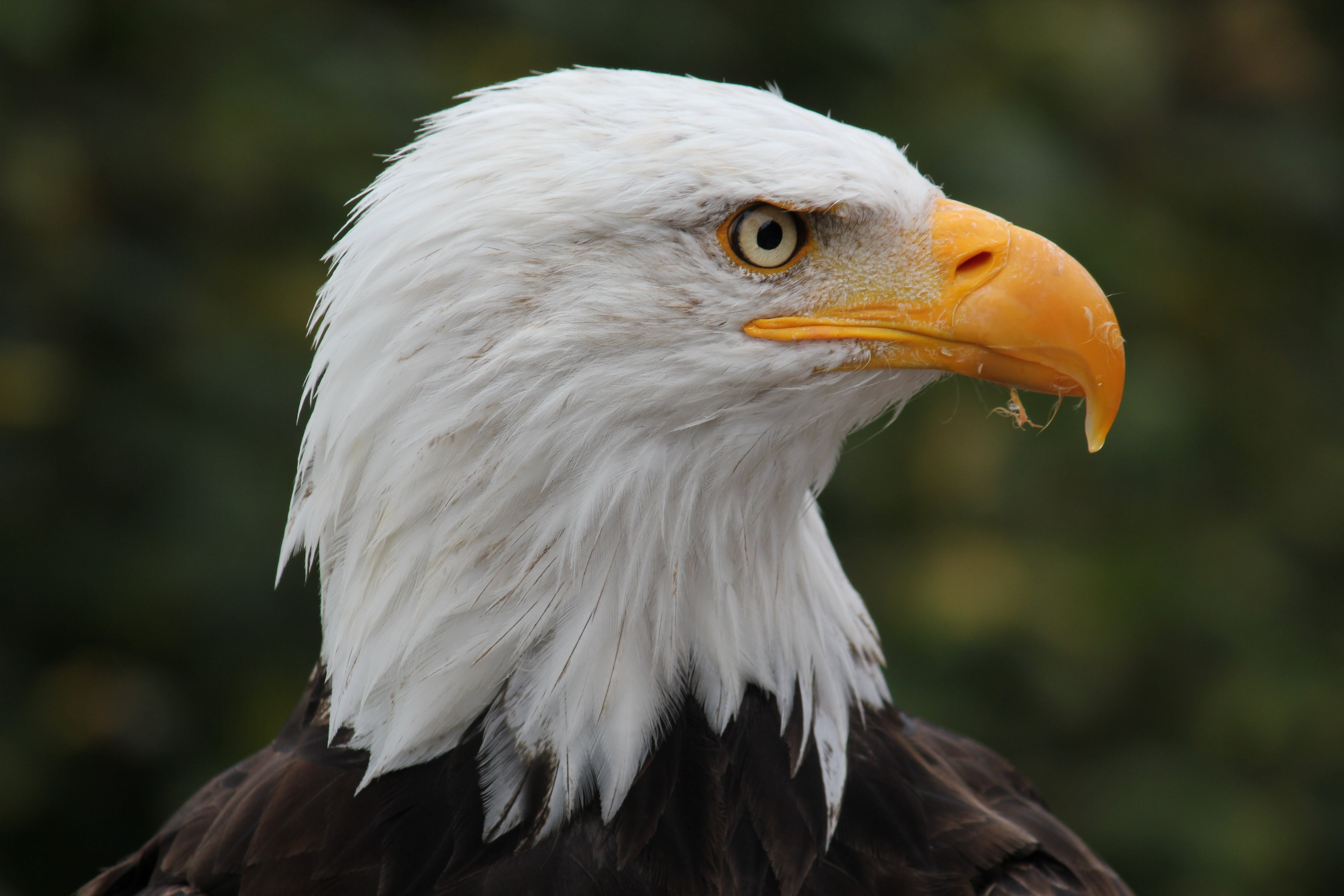 Free stock photo of park, bald eagle, bird of prey, bill