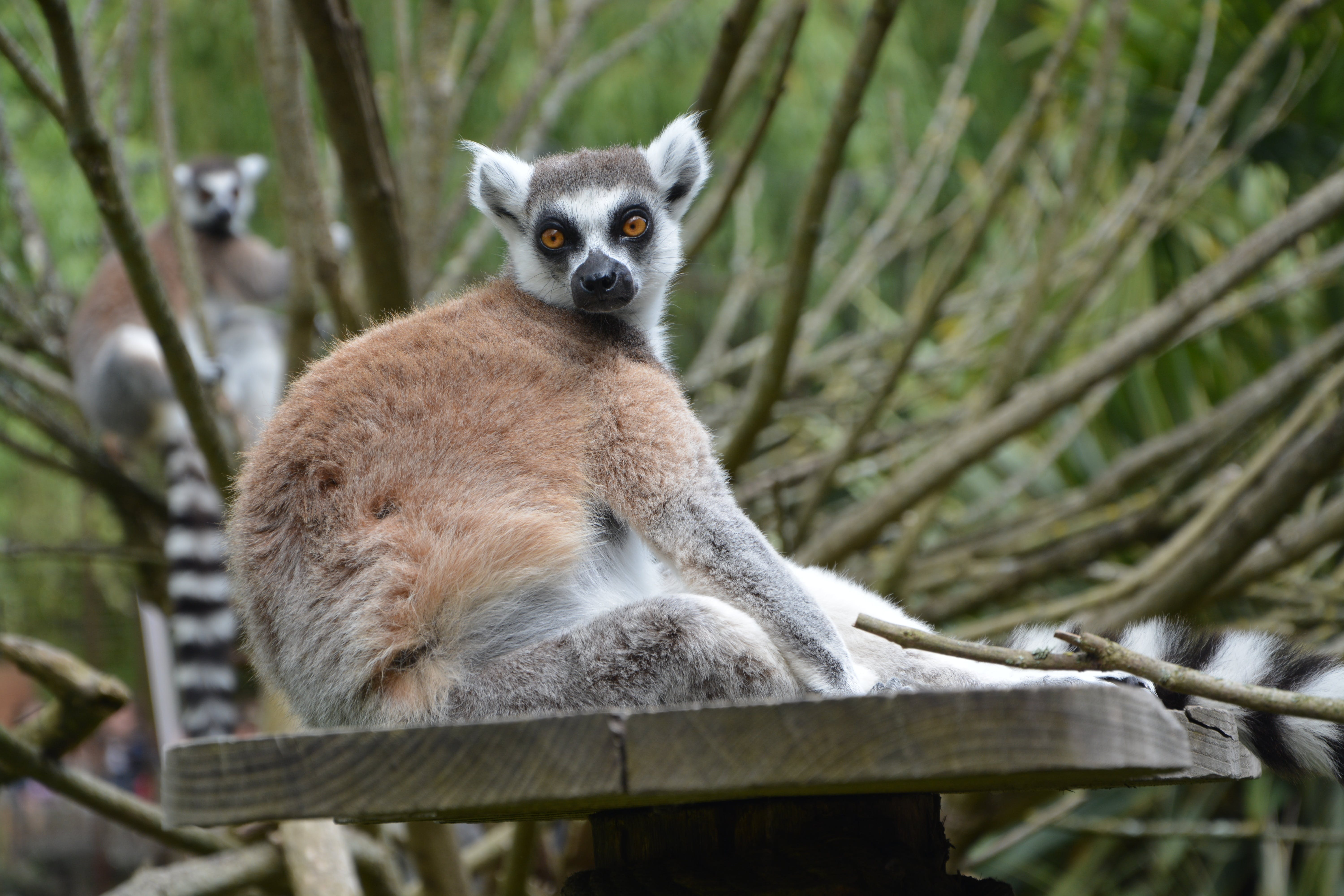 Ring-tailed Lemur on Wooden Table