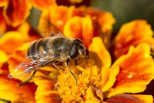 Foto d'estoc gratuïta de abella, ales, concentrar-se, desenfocament