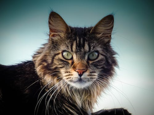 Selective Focus Photograph of Long-haired Black and Brown Cat