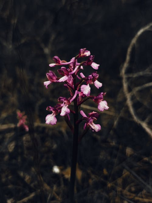 Wild Orchis anatolica flowers in woods
