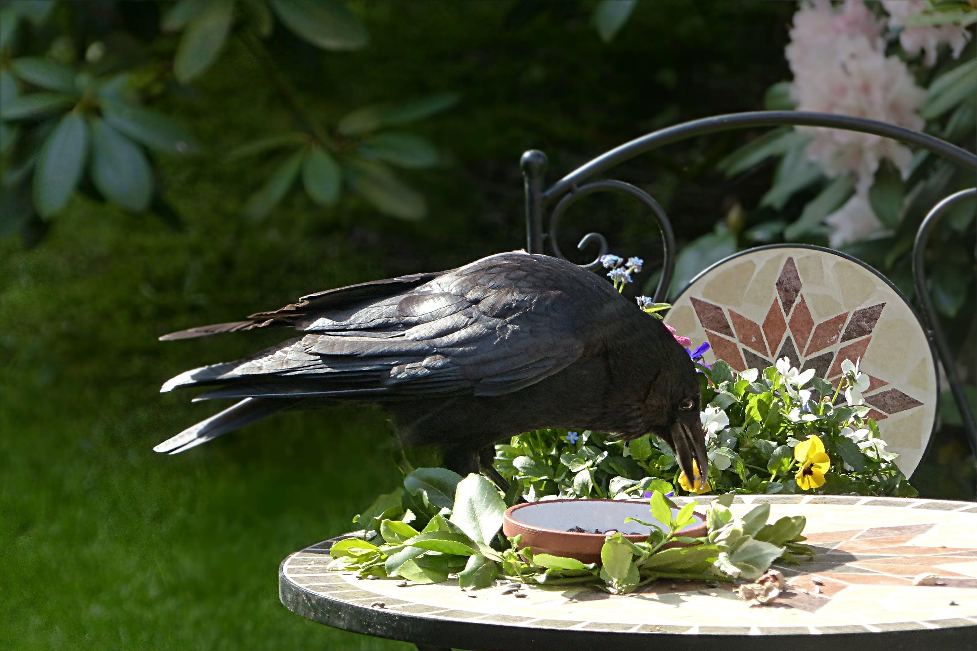 Free stock photo of bird, garden, black, raven