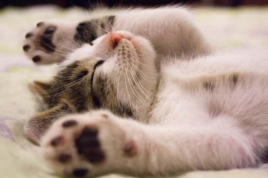 Free stock photo of animal, fur, kitten, sleep