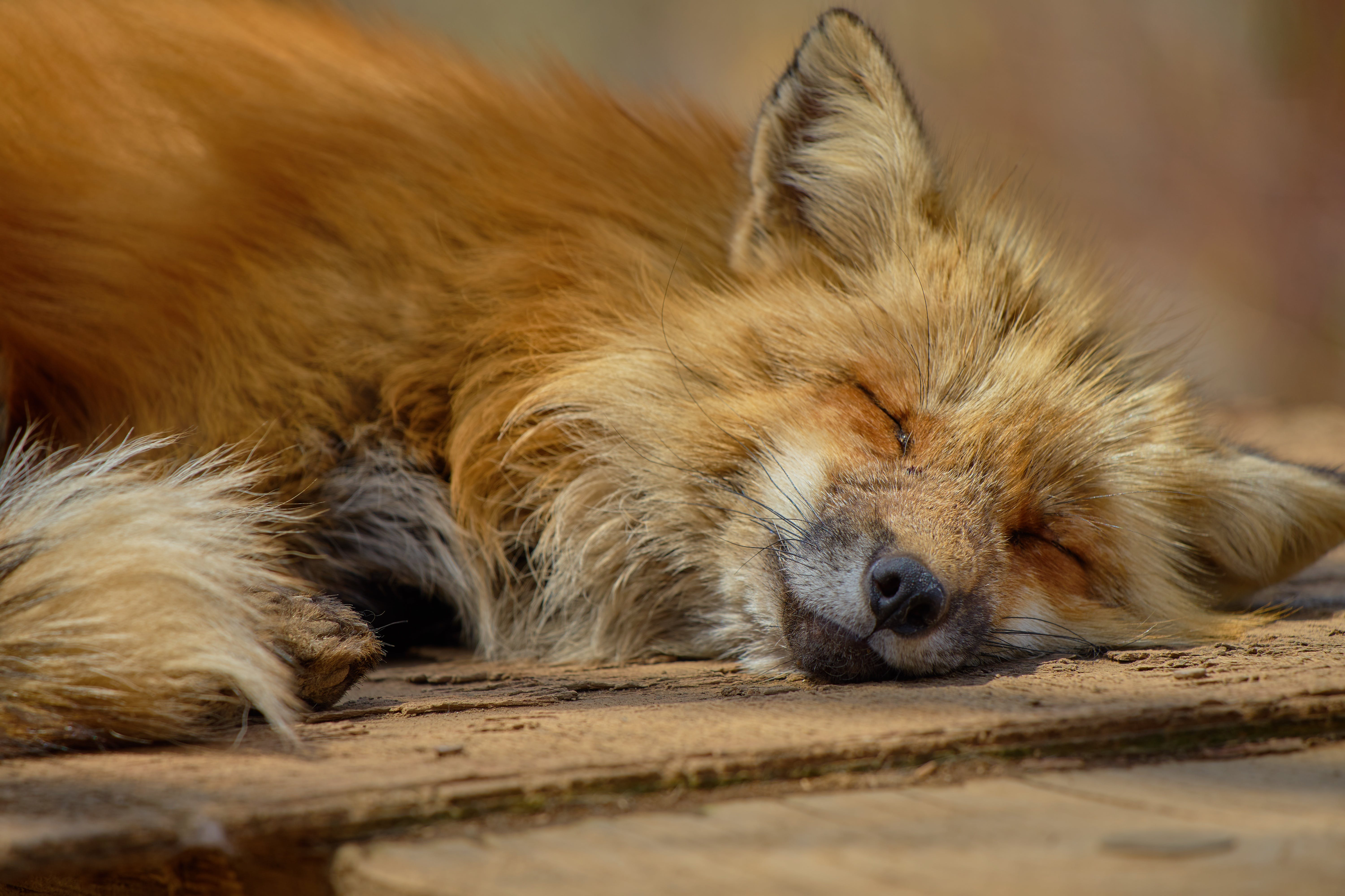 Wildlife Photography of Resting Fox