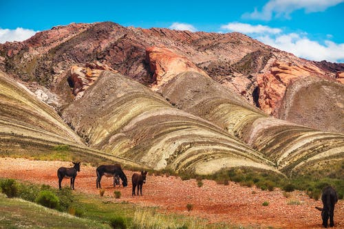 Herd of mules grazing on pasture near amazing colored mountains in Quebrada de Humahuaca rainbow valley located in Argentina on sunny day
