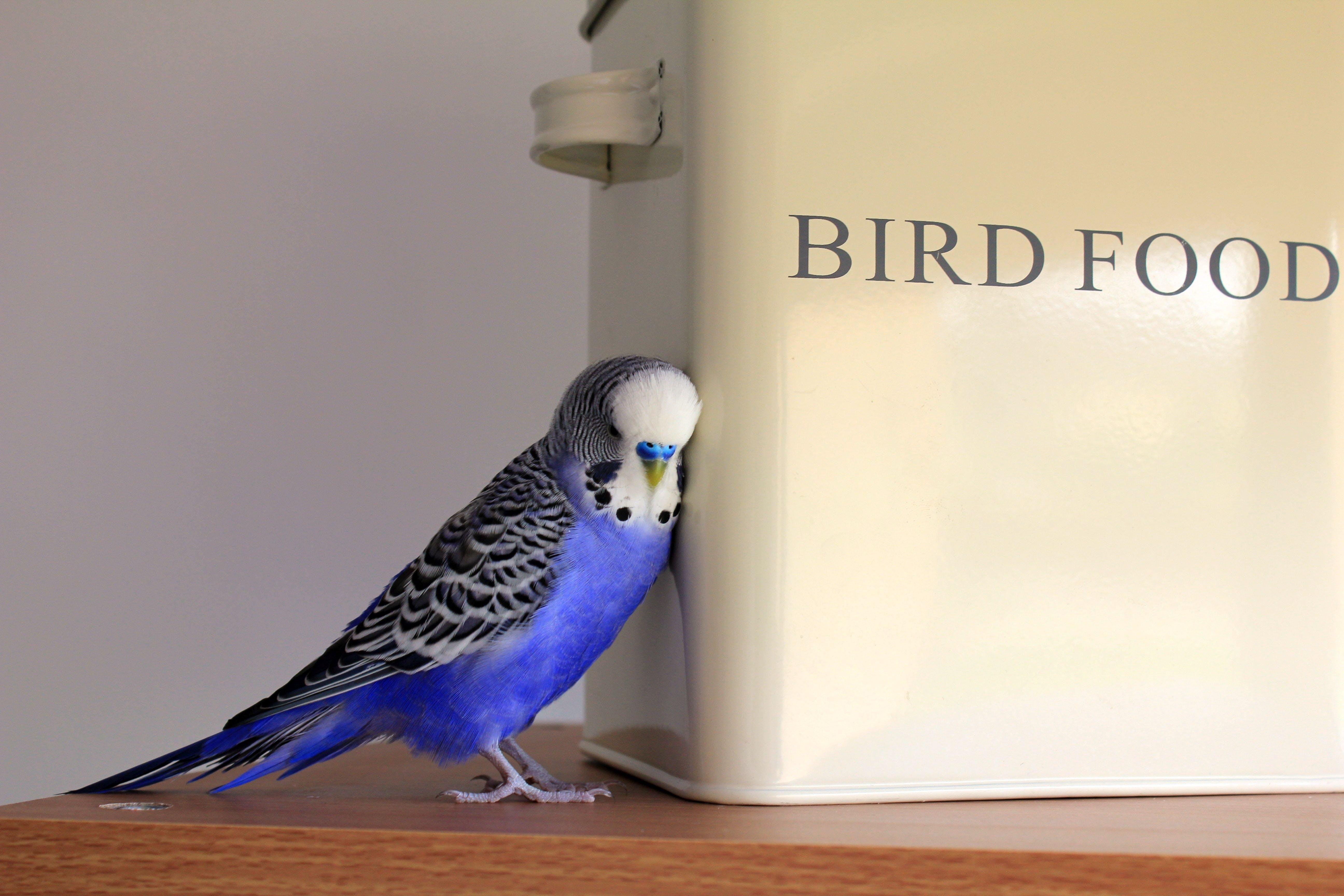 Blue, Black, and White Parakeet