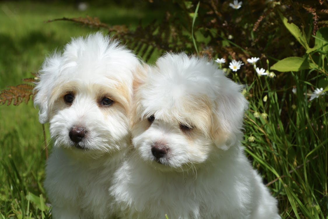 Two Short-coated White Puppies on Grass