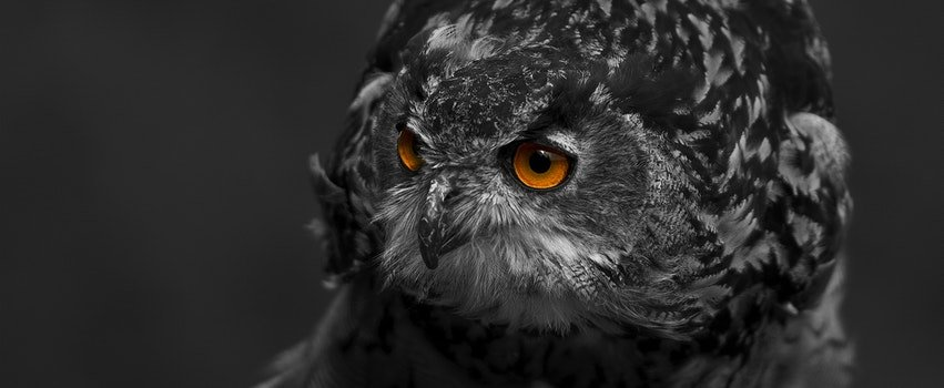 Free stock photo of black-and-white, bird, animal, eyes