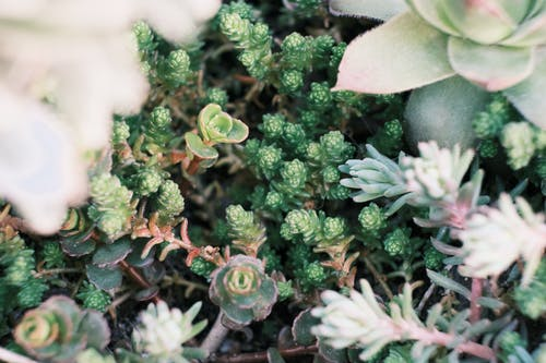 Decorative Sedum succulents growing in greenhouse