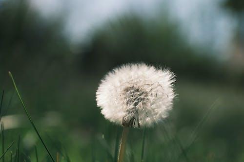 White dandelion in green field on spring day
