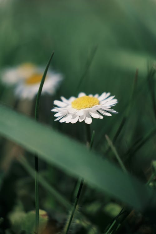 Small chamomile flowers growing in green field