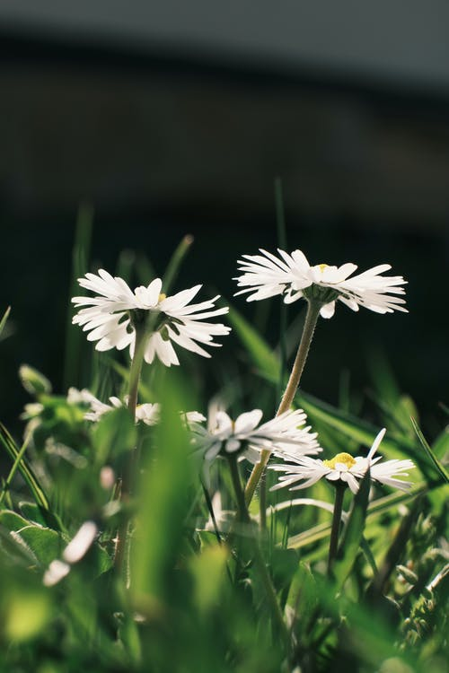 Ground level of delicate blooming white chamomile flowers growing on green grassy meadow under bright sunlight