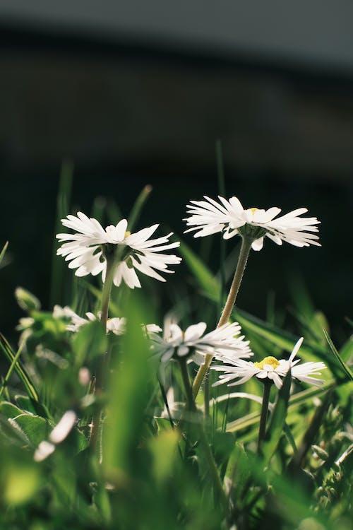 Tender white chamomiles in green garden
