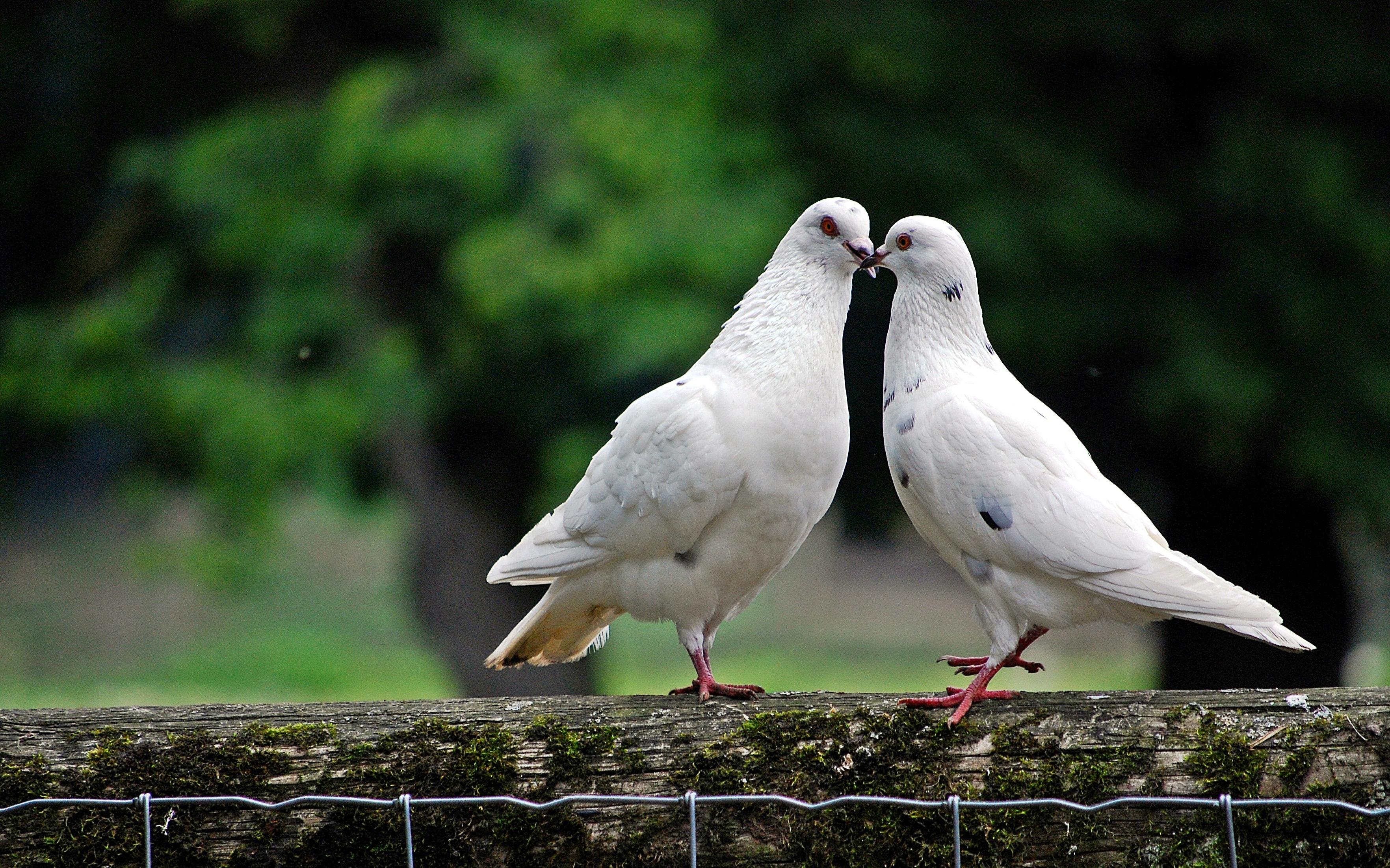 Free Stock Photo Of Animal World Bird Pigeon Dove