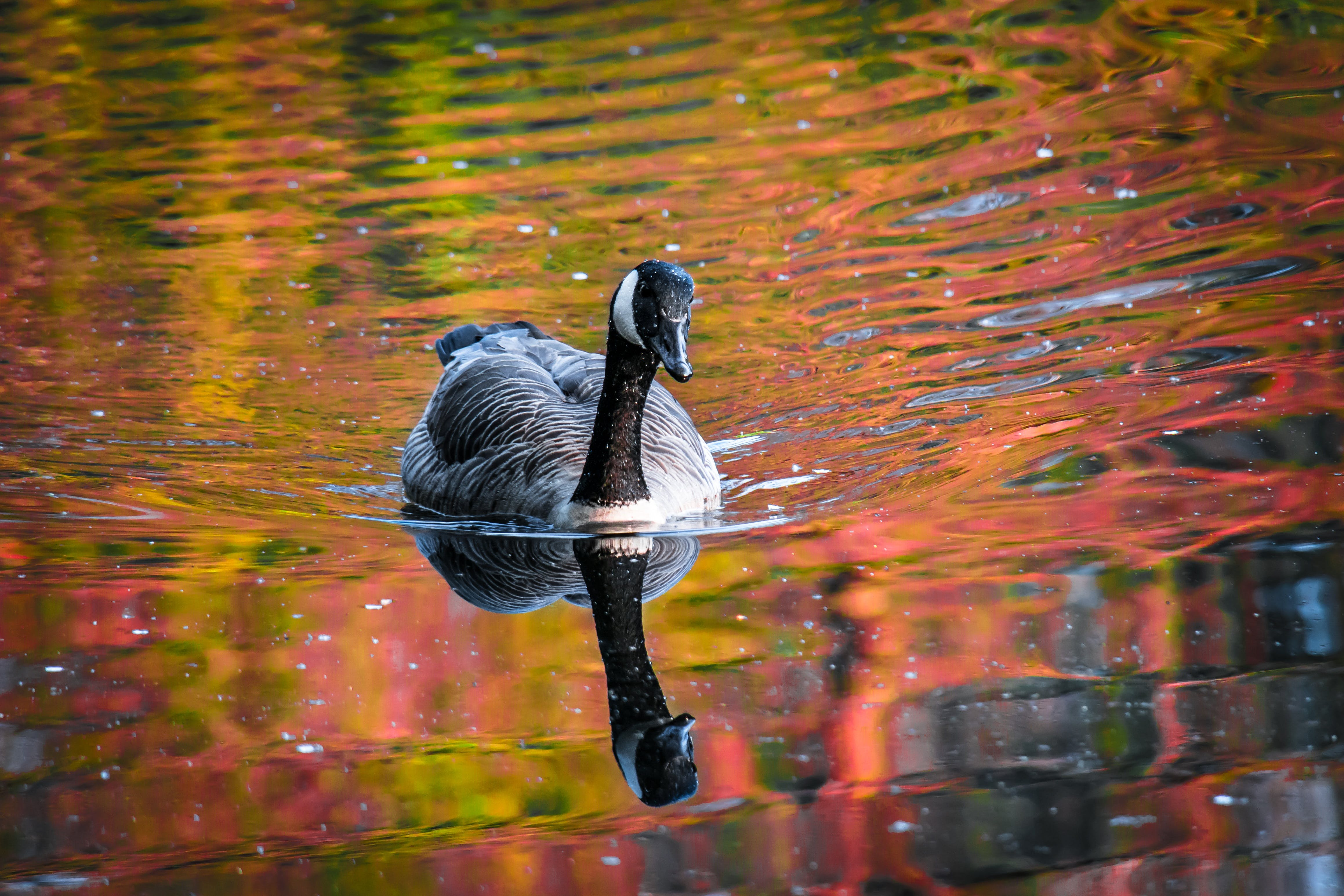 Black and White Duck on Body of Water