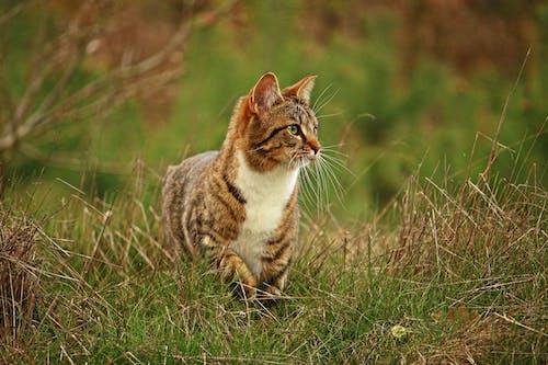Tabby Walking on Grass