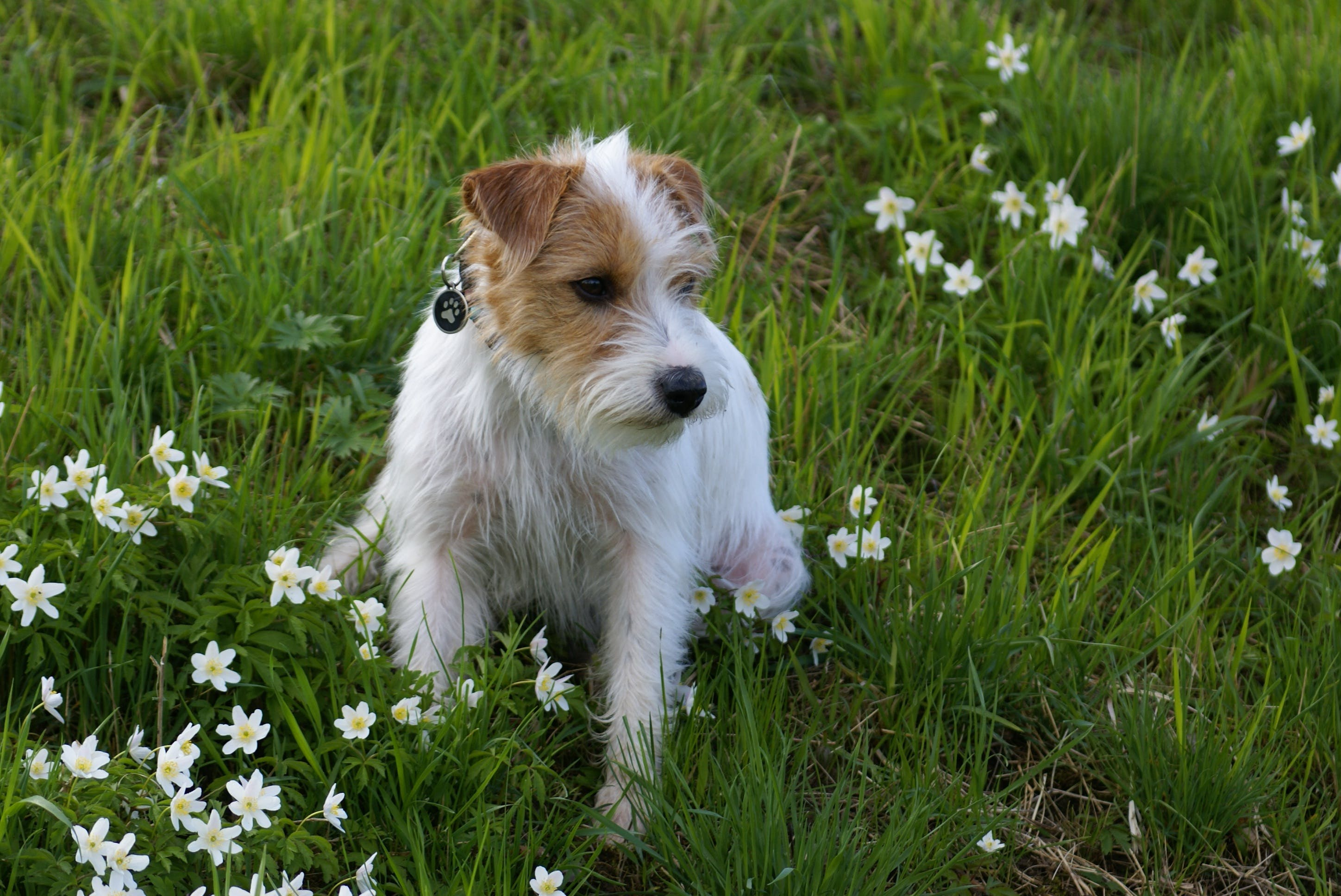 Free stock photo of field, flowers, animal, dog