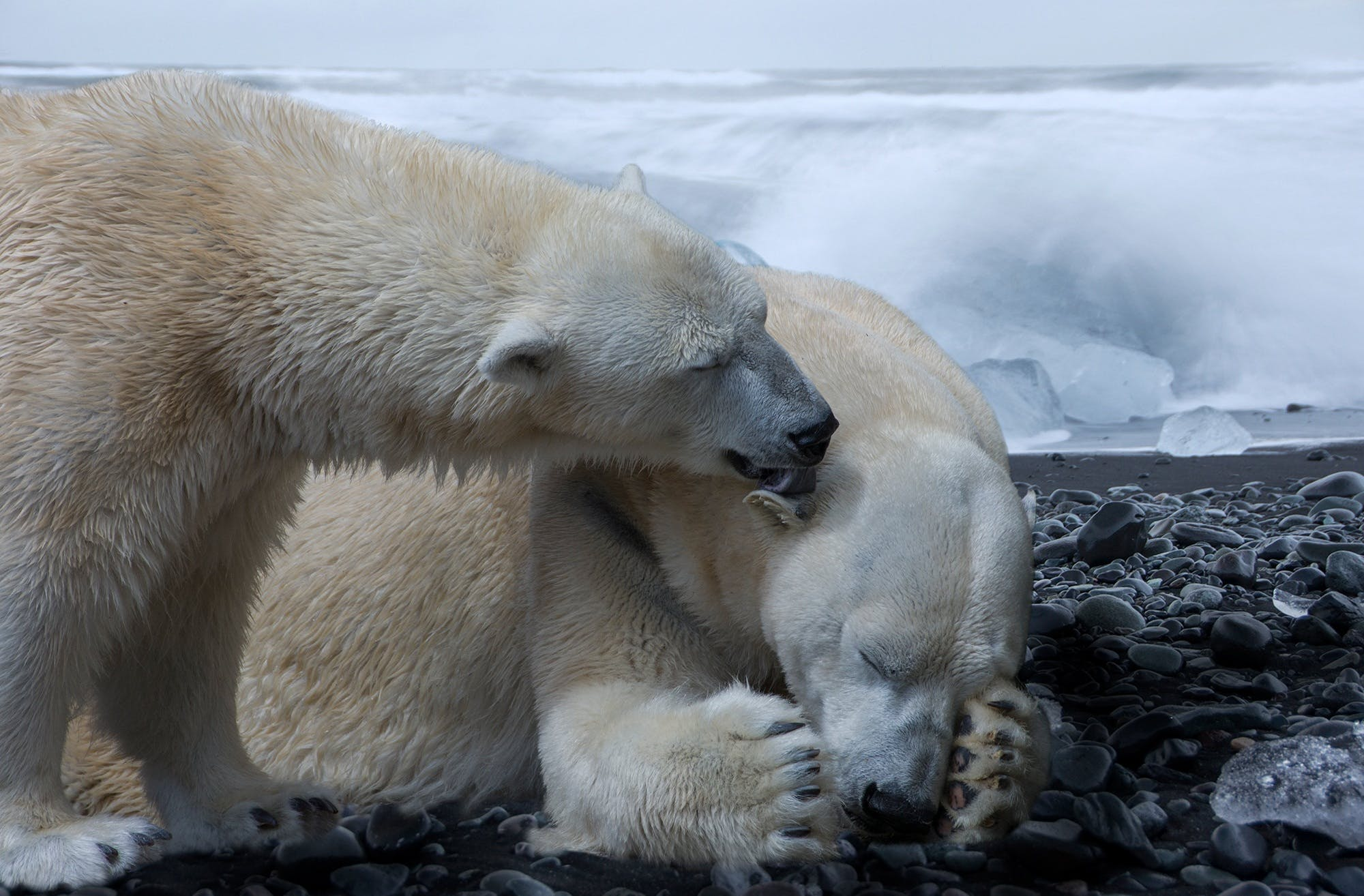 animal, arctic ocean, bear