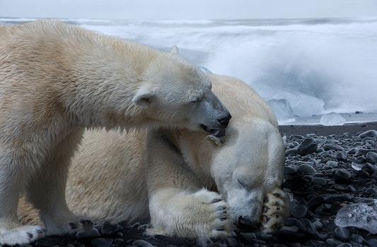 Free stock photo of cold, animal, ice, bear