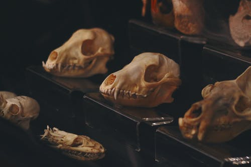 Brown and White Skulls