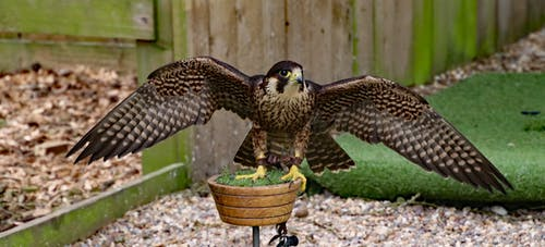 Foto d'estoc gratuïta de a l'aire lliure, ales, animal, au rapinyaire
