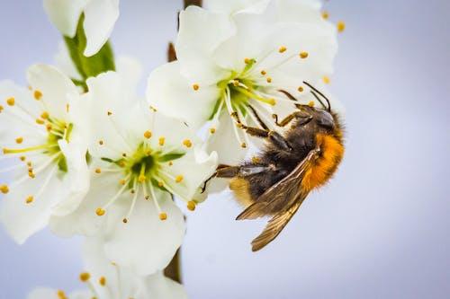 Безкоштовне стокове фото на тему «Бджола, великий план, дикий, запилення»
