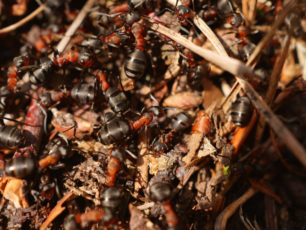 Black-and-red Ants